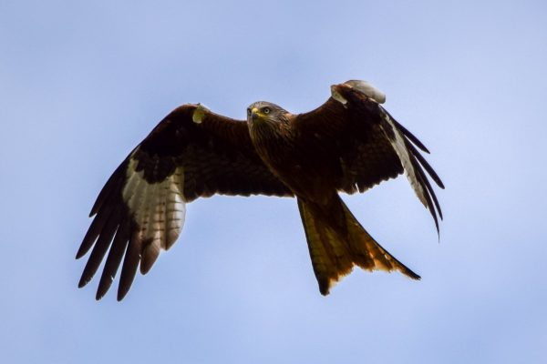 A red kite soars over the Welland Valley.