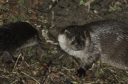 They're elusive but still there! Otters have made a comeback in the town.